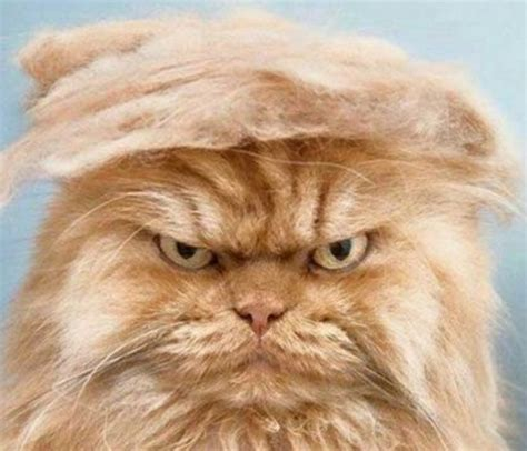 donald trump looks like top 10 politically incorrect cats who look like donald