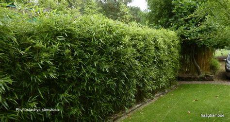 bamboe groningen niet woekerende bamboe fargesia