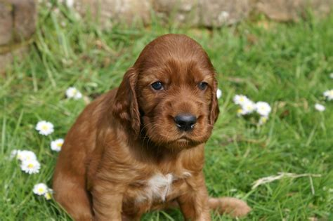 setter dogs for sale in ireland irish setter puppies looking for caring homes guildford