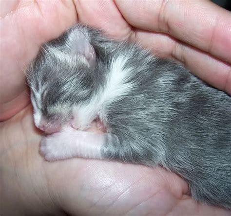 newborn kittens newborn kitten sucking thumb other animals pinterest