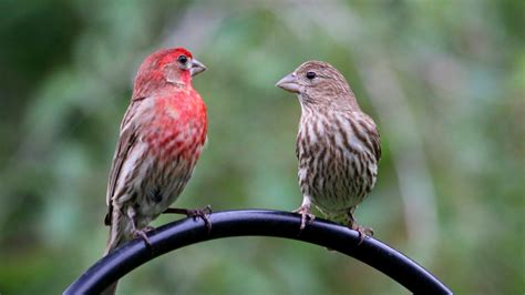 house finch indiana audubon society