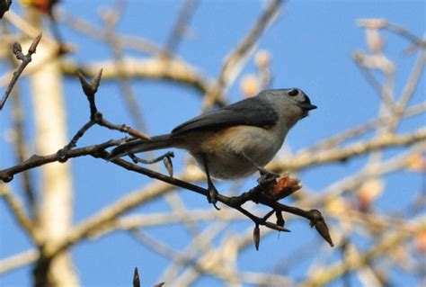 tufted titmouse baelophus bicolor