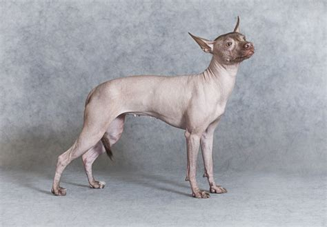 breeds and information some helpful facts and information about hairless