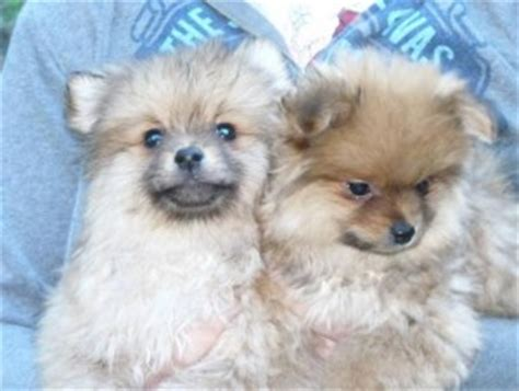 teacup pomeranian puppies for sale in arizona dogs cottonwood az free classified ads