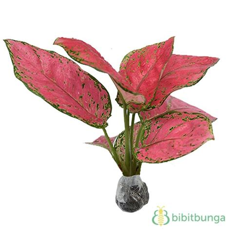 Ruby Aglonema tanaman aglaonema ruby bibitbunga