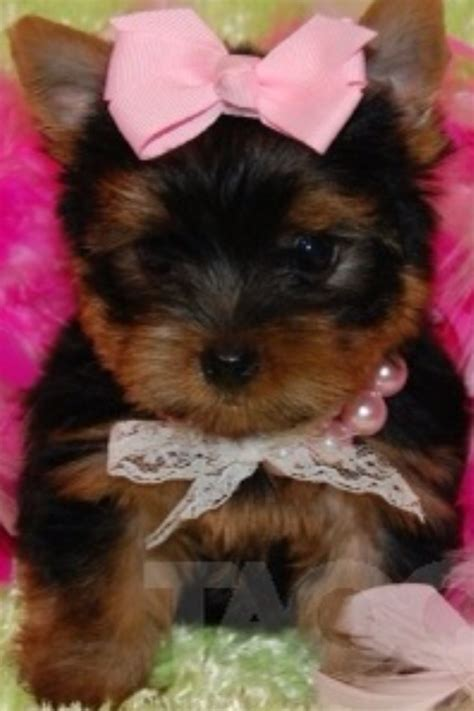 teacup yorkie costumes 48 best images about my fox terrier maltese on chihuahuas costumes