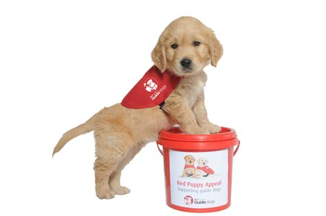 puppy guide guide puppies need your help royal nz foundation of the blind