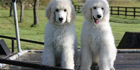What Large Dogs Shed The Least by Large Breeds Page 10 Breeds Dogthelove