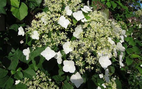 climbing shade plants buy climbing hydrangea petiolaris 1 gallon vines