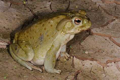 are toads poisonous to dogs toads pet poison helpline