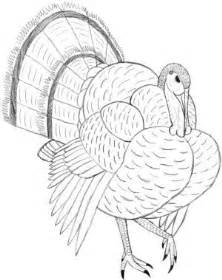 drawings of turkeys turkey dissections