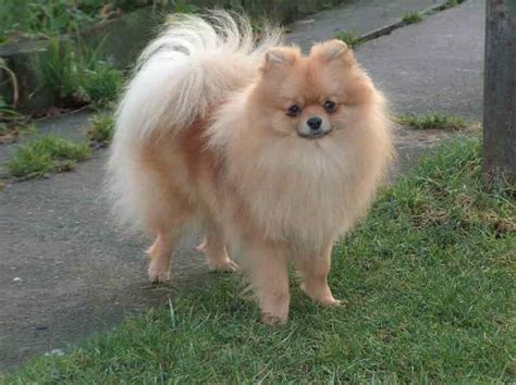 pomeranian weight what breed is my yahoo answers