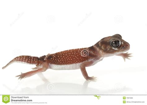 Smooth Knob Tailed Gecko by Smooth Knob Tailed Gecko Stock Images Image 7937284