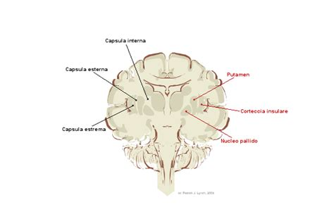 brain coronal section file brain human coronal section tags png