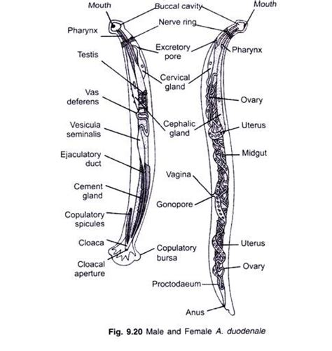 euspongia diagram hookworms ancylostoma duodenale phlyum 101