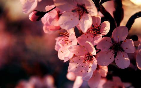 wallpaper hd pink flowers pink anemone flower wallpaper 2560x1600 23363