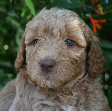 doodle puppies for sale in oregon best 25 labradoodle puppies for sale ideas on