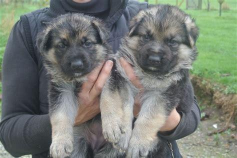 large german shepherd puppies for sale german shepherd puppies for sale sittingbourne kent pets4homes