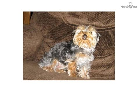 6 month yorkie pictures meet a terrier yorkie puppy for sale for 800 6 month