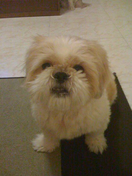 missing shih tzu snowy a shih tzu lost in tines st 91 reward for finding missing