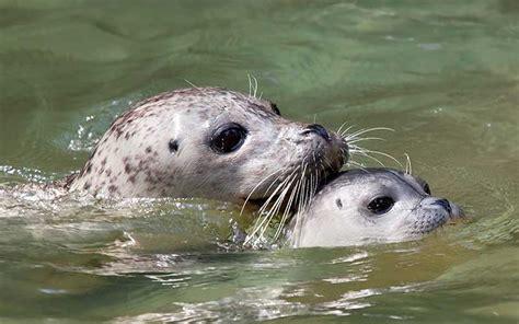 imagenes de focas blancas foca informaci 243 n y caracter 237 sticas
