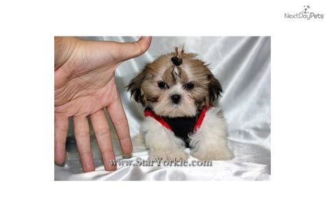 shih tzu puppies california shih tzu puppy for sale near los angeles california 677d7cf5 4151