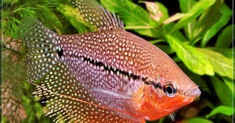 Ikan Hias Sepat Hias Biru kolam hias tips budidaya ikan sepat mutiara