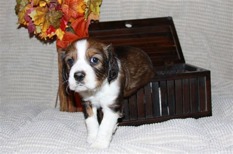 springer spaniel puppies oregon oregon springer spaniel page