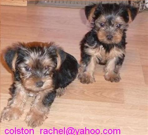 affordable teacup yorkies yorkies for sale yorkies for sale in california akc yorkie rachael edwards