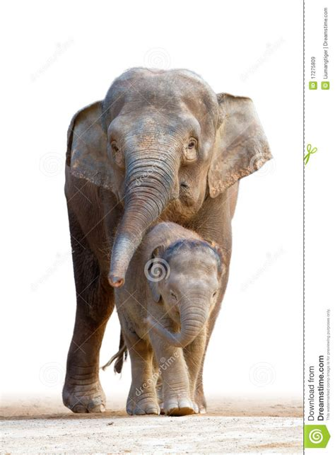 asian elephant familys walking royalty  stock images