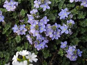 list of perennial flowers h with pictures