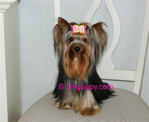 yorkie haircuts pictures only yorkie haircuts pictures only the 25 best yorkie