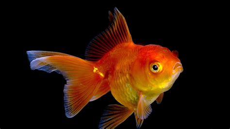 goldfish wallpaper 15 goldfish hd wallpapers backgrounds wallpaper abyss