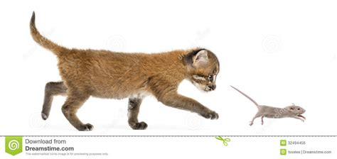 cat chases side view of an asian golden cat chasing a mouse isolated stock photo image