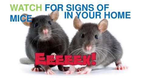 signs of rats in house signs of rats in house 28 images mice rat infestation sighns wasp rodents signs