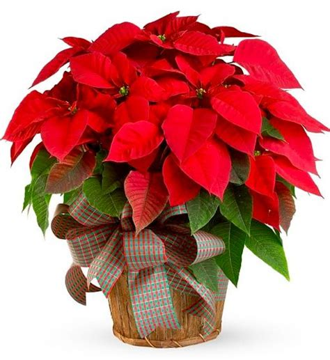 the farmer fred 174 rant poinsettia pointers