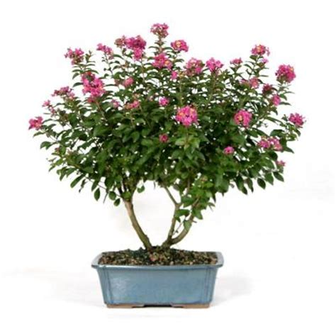 brussel s bonsai crepe myrtle dt 6006dcm the home depot