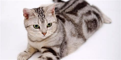 American Shorthair   Information, Characteristics, Facts