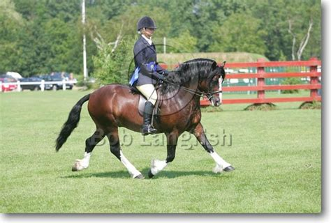 welsh section c bob langrish equestrian photographer images