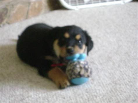 setter rottweiler mix puppy shephard setter rottweiler mix for sale in roy utah classifieds ksl