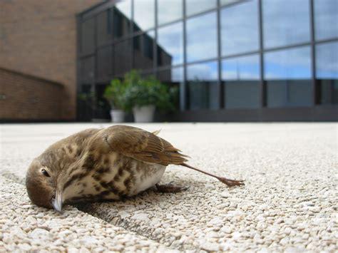 eren bird window collisions project