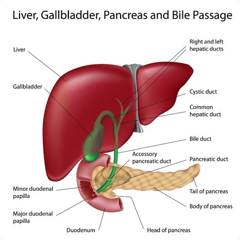Liver Sections by Where Are The Kidneys And Liver Located