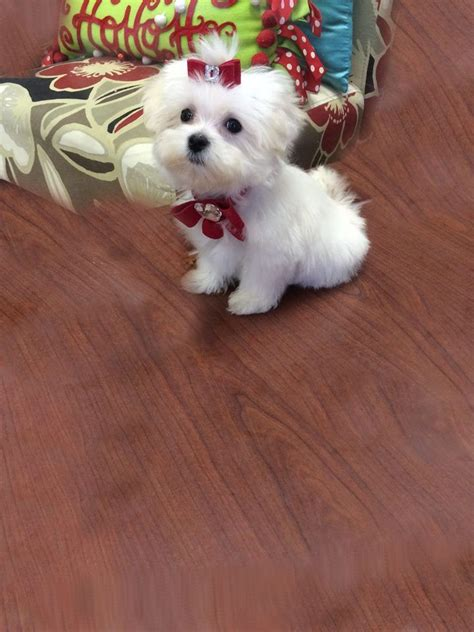 maltipoo puppies for sale florida 183 best maltese puppies images on maltese puppies beautiful and dogs