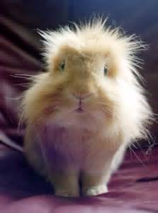 like a bunny haired guinea pig looks a bit like a bunny adorable baby animals guinea