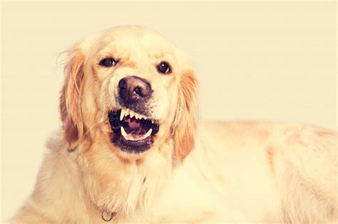 golden retriever puppy commercial angry golden retriever photo free
