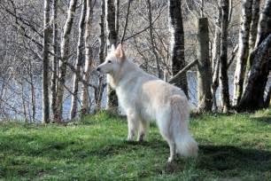 Long haired german shepherd dog dog german shepherds