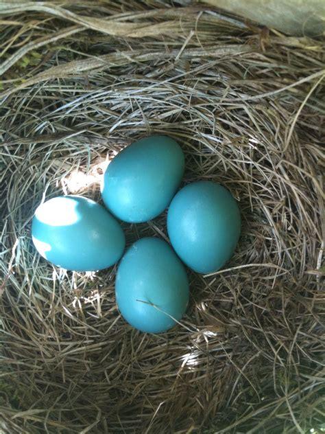 robin bird eggs hatching