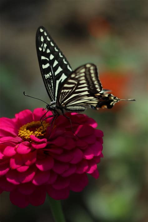 wallpaper pink flower black butterfly spring