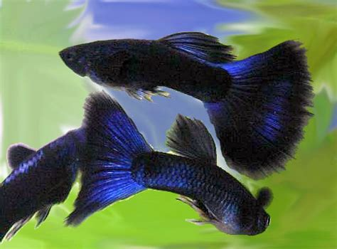 Guppy Blue Moscow Promo moscow guppy pair blue blue moscow worldwide fish