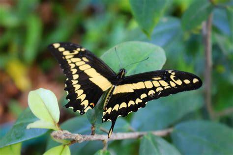 botanical gardens butterfly exhibit fort worth botanic garden holds grand opening for